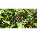 TPA Elderberry 15ml